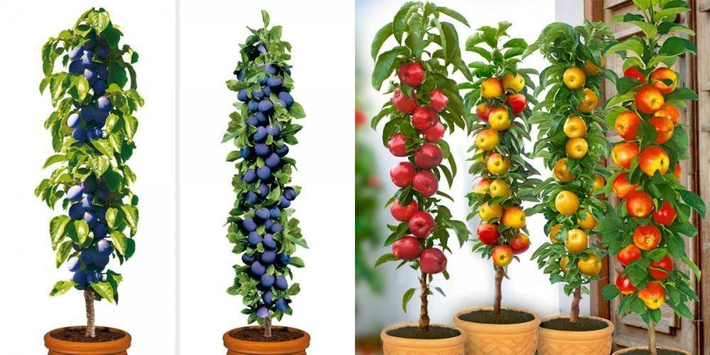 Cum sa cresti pomi columnari